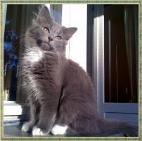 Foto 2 3 reinrassige Norweger Kitten