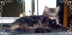 Foto 3 3 reinrassige Norweger Kitten