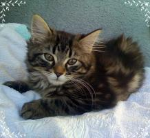 Foto 4 3 reinrassige Norweger Kitten
