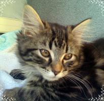 Foto 5 3 reinrassige Norweger Kitten