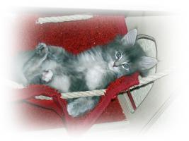Foto 6 3 reinrassige Norweger Kitten