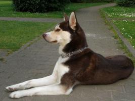 Foto 6 3 reinrassige siberian Husky Welpen....warten auf Euch!!!