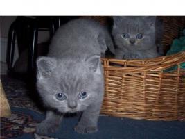 3 reinrassige, wunderhübsche blaue BKH-Kätzchen (Mädchen) aus 4er Wurf sind noch zu haben