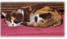 3 süße Britisch Kurzhaar Katzen suchen ein gemütliches Heim