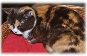 Foto 2 3 süße Britisch Kurzhaar Katzen suchen ein gemütliches Heim