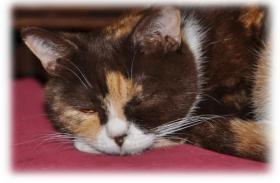 Foto 3 3 süße Britisch Kurzhaar Katzen suchen ein gemütliches Heim
