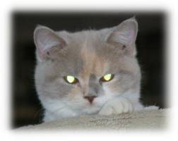 Foto 4 3 süße Britisch Kurzhaar Katzen suchen ein gemütliches Heim