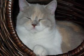 Foto 5 3 süße Britisch Kurzhaar Katzen suchen ein gemütliches Heim