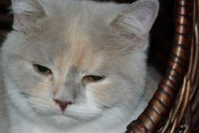 Foto 6 3 süße Britisch Kurzhaar Katzen suchen ein gemütliches Heim