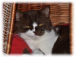 Foto 7 3 süße Britisch Kurzhaar Katzen suchen ein gemütliches Heim