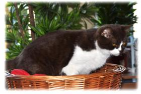 Foto 9 3 süße Britisch Kurzhaar Katzen suchen ein gemütliches Heim