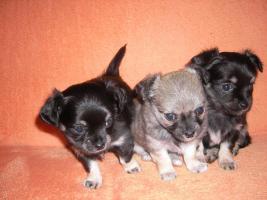 3 süße Chihuahua- Welpen abzugeben