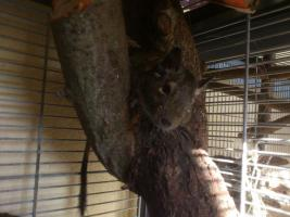 Foto 2 3 süße Degumänchen suchen ein neues Zuhause