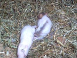 3 süße Hamsterbabys