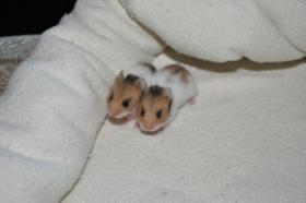 3 süße Hamsterjunge suchen neues Zuhause