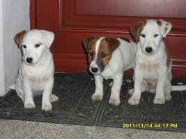 3 süße Jacky Welpen