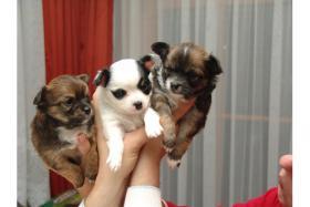 3 s�sse Langhaar Chihuahua Welpen