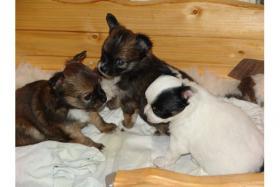 Foto 2 3 s�sse Langhaar Chihuahua Welpen