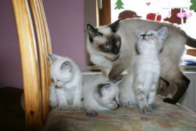 3 süße Siamkatzen suchen ein neues Zuhause