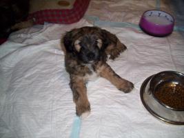 Foto 2 3 süsse Tibet Terrier Rüden