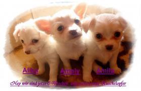 3 super süße Chihuahua Wepen