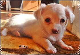 Foto 2 3 super süße Chihuahua Wepen