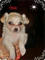 Foto 3 3 super süße Chihuahua Wepen