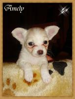 Foto 4 3 super süße Chihuahua Wepen