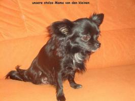 Foto 5 3 super süße Chihuahua Wepen