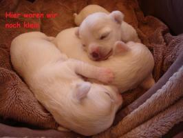 Foto 6 3 super süße Chihuahua Wepen