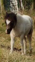 Foto 4 3 tolle Mini-Shettland-Hengstfohlen