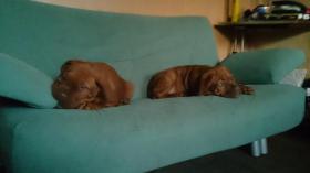 Foto 2 3  Bordeaux Doggen Welpen suchen ein zu Hause