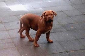 Foto 5 3  Bordeaux Doggen Welpen suchen ein zu Hause