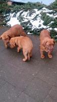 Foto 6 3  Bordeaux Doggen Welpen suchen ein zu Hause