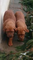 Foto 9 3  Bordeaux Doggen Welpen suchen ein zu Hause