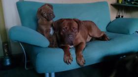 Foto 11 3  Bordeaux Doggen Welpen suchen ein zu Hause