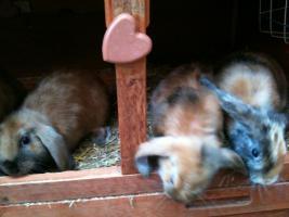 3x 10 Wochen alte süße Satinwidder Zwergkaninchen abzugeben (Männchen)