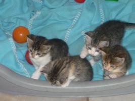 4 BKH-Mix Kitten suchen ein liebevolles Zuhause
