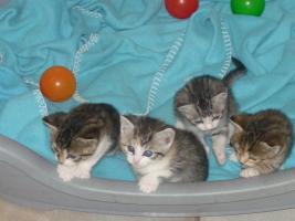 Foto 2 4 BKH-Mix Kitten suchen ein liebevolles Zuhause