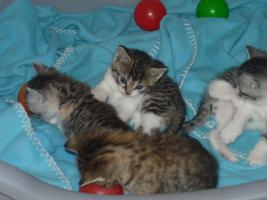 Foto 4 4 BKH-Mix Kitten suchen ein liebevolles Zuhause
