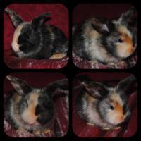 Foto 4 4 Babykaninchen aus liebevoller Hobbyzucht abzugeben