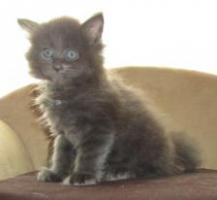 Foto 4 4 Blaue Maine Coon Kitten aus Ex. Veerpaarung ab 1. Oktober abzugeben