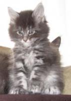 Foto 5 4 Blaue Maine Coon Kitten aus Ex. Veerpaarung ab 1. Oktober abzugeben