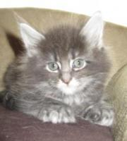 Foto 6 4 Blaue Maine Coon Kitten aus Ex. Veerpaarung ab 1. Oktober abzugeben