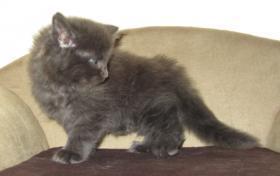 Foto 9 4 Blaue Maine Coon Kitten aus Ex. Veerpaarung ab 1. Oktober abzugeben