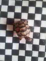 Foto 2 4 Breitrandschildkröten Mädchen von 2012 zuverkaufen