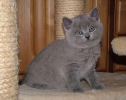 4 British Kurzhaar Kitten