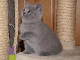 Foto 2 4 British Kurzhaar Kitten