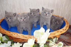Foto 3 4 British Kurzhaar Kitten