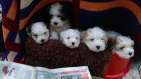 4 COTON de Tuléarwelpen(Baumwollhund)1 Weib.3 Rü.suchen ein neues zu Hause